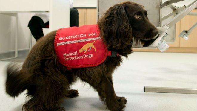 خبرنگاران سگ ها برای شناسایی ویروس کرونا آموزش می بینند