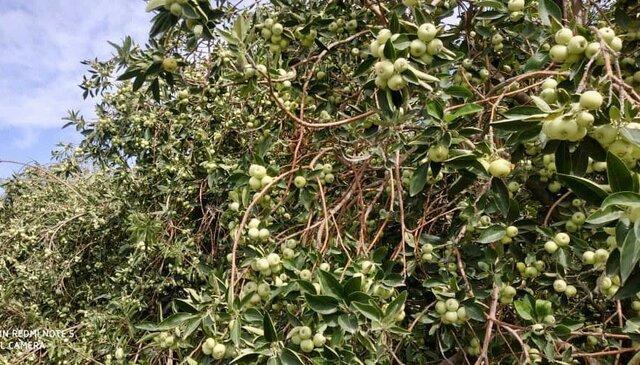آغاز برداشت سیب گلاب در فنوج سیستان وبلوچستان