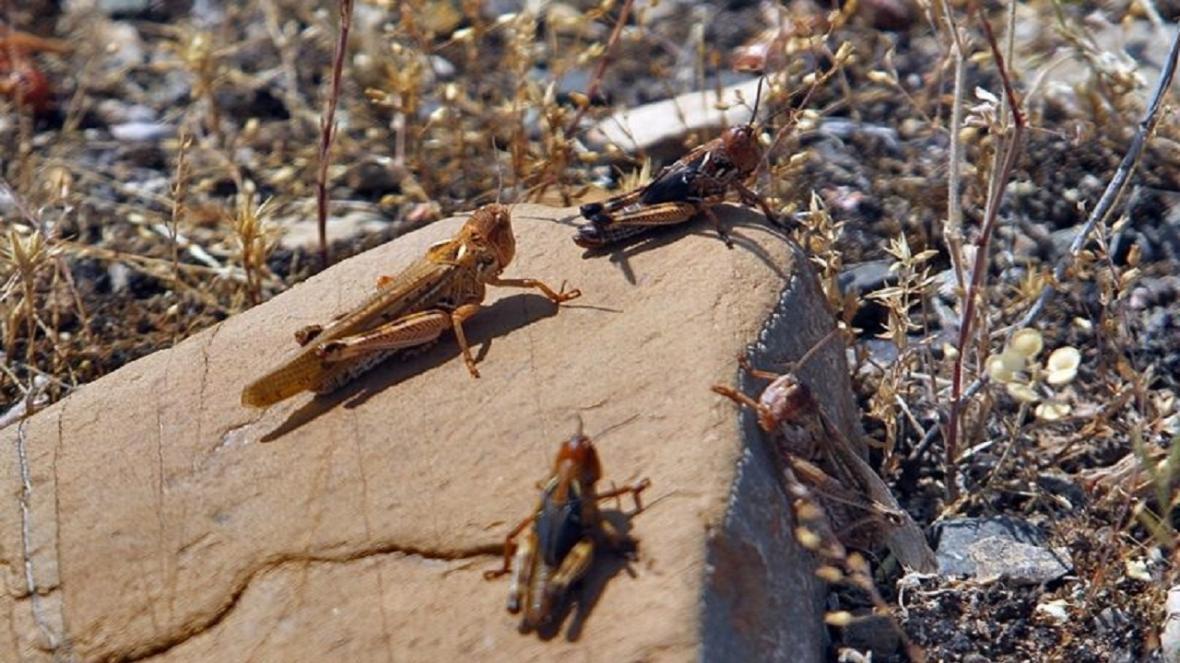 پاکسازی کانون های آفت ملخ در عرصه های منابع طبیعی سبزوار