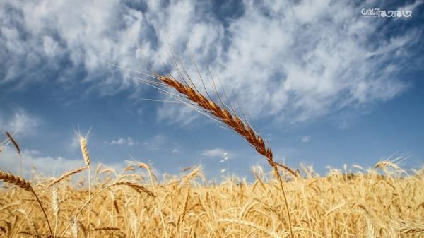 شروع برداشت گندم و افزایش 15 درصدی فراوری محصول در پارس آباد