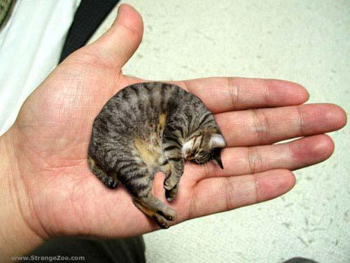 کوچک ترین گربه دوست داشتنی جهان
