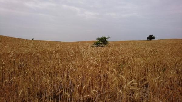 خرید تضمینی گندم از کشاورزان زنجانی